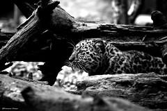 alla scoperta di un nuovo mondo (francesca_franza) Tags: baby animal animals leopardo felino felini animales bianconero animali animale cucciolo torbiera latorbiera parcofaunisticolatorbiera leopardodellamur
