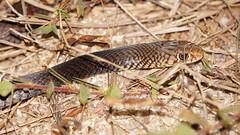 Black Whip Snake arnhem hwy (ntwildlife) Tags: black snake dam arnhem australia darwin whip northern territory venomous fogg elapid