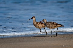 Morning Jog (craig goettsch) Tags: ocean california bird beach sand nikon wildlife d750 avian whimbrelnumeniusphaeopus 600mmf40 850mm salinasrivernwr springtrip2016