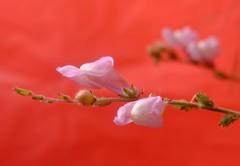 Flores silvestres ........ (davidgv60) Tags: flowers red flores verde nature hojas spain rojo flora plantas natural natur flor montaa ocasional silvestres david60 fujifilmxt10 photodgv