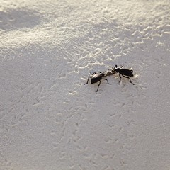 Beetles (na~) Tags: np usa us usnationalpark newmexico sand whitesand dunes whitesandsnationalmonument beetles