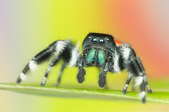 phidippus johnsoni (shimie) Tags: color macro male green eye nature grass animal les forest canon hair lens eos spider moss jumping eyes outdoor wildlife arachnid small extreme 100mm jed l jumper slovakia spinne mm usm poison predator wald jumpingspider mach oci trava salticus raynox arachnos chlp skkavka skakavka chelicery