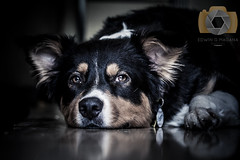 Luke (EGM2002) Tags: california canon eos is july canine socal usm southerncalifornia ef aussies 70200mm 2016 ef70200mm australiansheppard f4l canonef70200mmf4lisusm canon7dmkii 7dmkii july2016 canoneos7dmkii