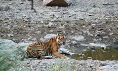 Machli- Queen of Ranthambore (tigerwalah) Tags: ranthambhore machli ranthambhoretigress