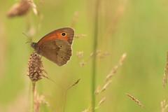 Zandoogje (beltmg) Tags: butterfly gert vlinder zandoogje beltman