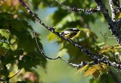 Magnolia Warbler, Gander Cross-country Ski Trail (frank.king2014) Tags: ca canada gander magnoliawarbler newfoundlandandlabrador