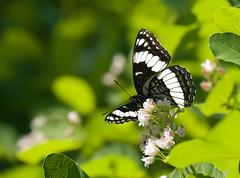 Butterfly B & W (Karen McQuilkin) Tags: flight hike butterflybw naturewings karenmcquilkin