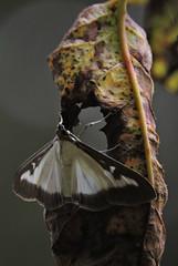 le tout nouveau de ma collec-dcouverte :) (doubichlou) Tags: papillon butterfly nature animal insecte love thy macro yonne bourgogne burgundy france