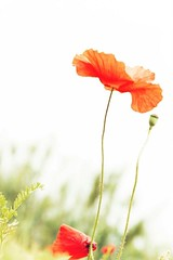 Flowers #fiori #flower #papaveri #nikon ##d3200 #nature #sky #like #like4like #nikonist #color #white (denisegarofalo1) Tags: sky white flower color nature nikon like fiori papaveri d3200 nikonist like4like