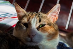 (franciscayermany) Tags: sun cute verde green love sol animal cat eyes nikon ojos gato verdes nikond3200