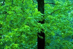 Tangled Tree (richard.scott1952) Tags: tangled maple green verdant lush wet moist afternoon air color colorful colour colourful canada environment flower forest leaf leaves light mist monochrome monochromatic nature ontario outdoor pretty pristine rain summer water trees
