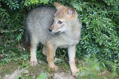 Golden Jackal 2016-07-02-0174 (BZD1) Tags: nature goldenjackal pub cub hondachtigen hond animal mammal carnivore burgerszoo jakhals goudjakhals