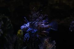 DSC02371 (Al Gow) Tags: florida seaworld lionfish