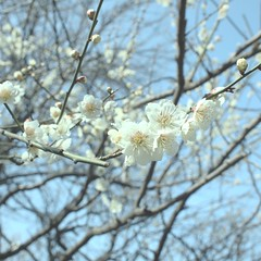 white cherry blossom (KiNO1982) Tags: