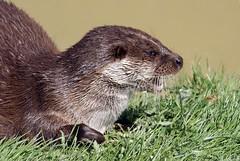 European Otter (nitram0864) Tags: nature wildlife sony bwc a200 britishwildlifecentre europeanotter sonyalphadslra200