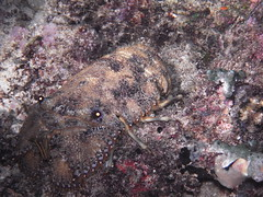 Slipper Lobster (clear_eyed_man) Tags: scuba slipperlobster rajaampat dx2g