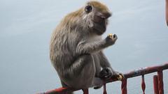 Monyet Liar