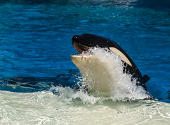 2012 Shamu the Orca (11) (maskirovka77) Tags: whale orca trick splash killerwhale stunt orcinusorca soakzone whaleshow
