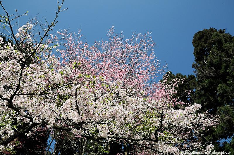 阿里山櫻花107