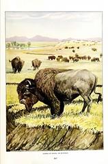 n82_w1150 (BioDivLibrary) Tags: northamerica mammals cornelluniversitylibrary taxonomy:binomial=bisonbison bhl:page=38088412 dc:identifier=httpbiodiversitylibraryorgpage38088412 nationalmammal