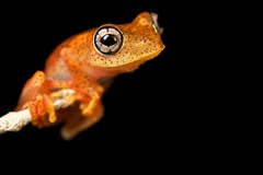 Polk-a-dot frog (Boophis sp.) (pbertner) Tags: red orange yellow island amphibian frog macrolife boophis