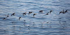 Birds of Feather Flock Together (Kiddi Kristjans) Tags: ocean sea reflection birds iceland still voigtlander flock flight sland 180mm apolanthar voigtlanderapolanthar180mmf4sl canoneos5dmarkiii