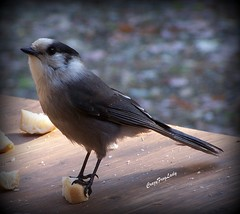 "Grey Jay From My Archives......""EXPLORE"" (CrazyFrogLady) Tags: bird nature bread act greyjay ballance"