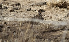 Three-banded Courser (Paul Cottis) Tags: ethiopia awash courser