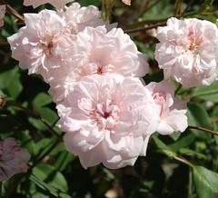 Rosa 'Cecile Brunner' (Jim's Plants) Tags: rosaceae