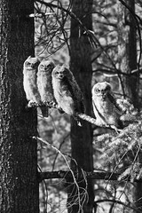 Great Horned Owlets 6 (LongInt57) Tags: trees bw baby white black tree forest grey mono babies great gray chick owl chicks juvenile forests owls greathornedowl horned owlet owlets juveniles