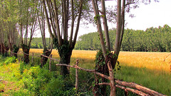 WHEAT FARM (kuytu) Tags: tree green yellow fence farm wheat yeil sar aa tarla it buday