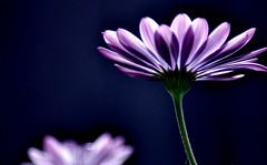 Daisy Blue (missgeok) Tags: lighting flowers blue macro art floral closeup backlight composition daisies petals focus colours dof purple angle creative celebrations mauve colourful sidebyside mothersday gettyimages darkbackground 1flower bokehlicious daisyblue 1bokeh