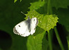 Female Orange tip (Mr Grimesdale) Tags: butterfly steve butterflies wallace orangetip orangetipbutterfly stevewallace britishbutterflies femaleorangetip mrgrimesdale
