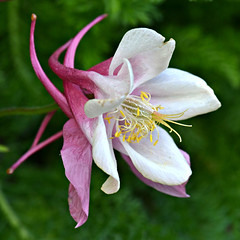 The Pink One (Eleanor (WHU)) Tags: garden aquilegia floralfantasy perfectpetals worldofflowers flickrsawesomeblossoms flickrflorescloseupmacros amazingdetails unforgettableflowers addictedtoflowers flowersonflickr weallloveflowers beautifulflowergroup flowers4you madaboutflowers