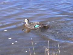 Mallard duck at Lake Wallace (Auntiebiga) Tags: lithgow lakewallace