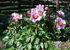 Peonia del Gennargentu (Peonia mascula) (michelangelo11) Tags: sardegna flowers flora nikon sardinia fiori barbagia gennargentu desulo