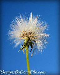 Albert (Leslie DonnElle) Tags: flowers blue flower macro art nature floral garden petals weed whimsy soft fuzzy albert fineart bluesky dandelion macroflowerlovers designsbydonnelle designsbydonnellecom