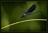 Calopteryx splendens (_szimplansrac_mostly off) Tags: blue detail macro nature insect dragonfly sony slt potofgold dragondaggeraward magicunicornverybest highqualityanimals