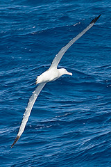 010001-IMG_2346 Wandering Albatross (Diomedea exulans ?) (ajmatthehiddenhouse) Tags: bird 2012 wanderingalbatross diomedeaexulans diomedea exulans wpo2012