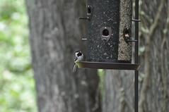 bird birdfeeder chickadee carolina 2012 poecile carolinensis 20120525birds