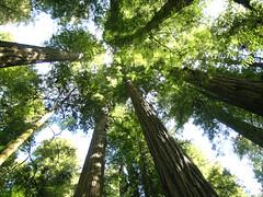 Sequoia sempervirens (Coast Redwood - USA, CA, Redwood SNP) (ledval) Tags: life flowers trees nature alberi natura fiori botany piante botanica vita ottobre2014challengewinnercontest