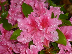 P1020979 (lkajsdfl) Tags: pink water up rain drops close rhododendron azalea pav blotch