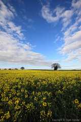Fields and Dreams (right2roam) Tags: flowers blue england sky flower field yellow clouds canon eos suffolk spring saturated colorful angle bright vibrant wide seed sunny rape east 5d growing agriculture canola sweeping anglia rapeseed pakenham colza right2roam