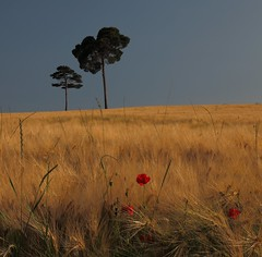 Il colore del grano - The color of the wheat (da.geli) Tags: wheat pines ilcoloredelgrano mygearandme mygearandmepremium mygearandmebronze mygearandmesilver thecolorofthewheat