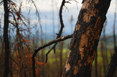 Scarred (Lee Petersen) Tags: alaska forest fire ak burn area fairbanks moosemountain borea