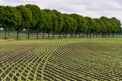 Lijnen - Lines (RuudMorijn) Tags: new trees summer plants brown plant green nature dutch field rural season landscape outdoors countryside leaf spring healthy bomen groen crossing natural outdoor earth background small curves farming young nederland environmental dry vegetable row bean farmland boom fresh growth soil rows crop land environment growing organic agriculture common curved groene sprout brabant planten seedling cultivation agricultural landschap cultuur noordbrabant nieuwendijk lijnen kleine brabants plantjes fertile cultivated bruine cultivate bonen landelijk agrarisch tuinbouw kruisende boneplanten bonenteelt
