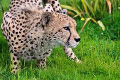 Cheetah 1 (Funky Foxy) Tags: cheetah acinonyxjubatus flickrbigcats endangeredbigcats