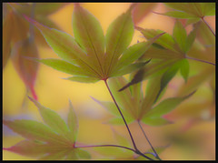 Japanese Maples (Explored 6-16-12) (Mark Chandler Photography) Tags: flowers trees color tree nature leaves canon ga georgia photography japanese photo maple dof bokeh pastel explore 7d kennesaw explored markchandler smithgilbertgardens