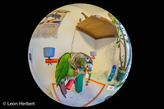 Polly wants a pretzel (leonjherbert) Tags: ohio pets bird animal unitedstates cincinnati fisheye elliot greencheekedconure leonherbertphotography