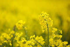 Yellow (Future-Echoes) Tags: yellow dof bokeh depthoffield essex rapeseed 2016 westbergholt hillhousewood
